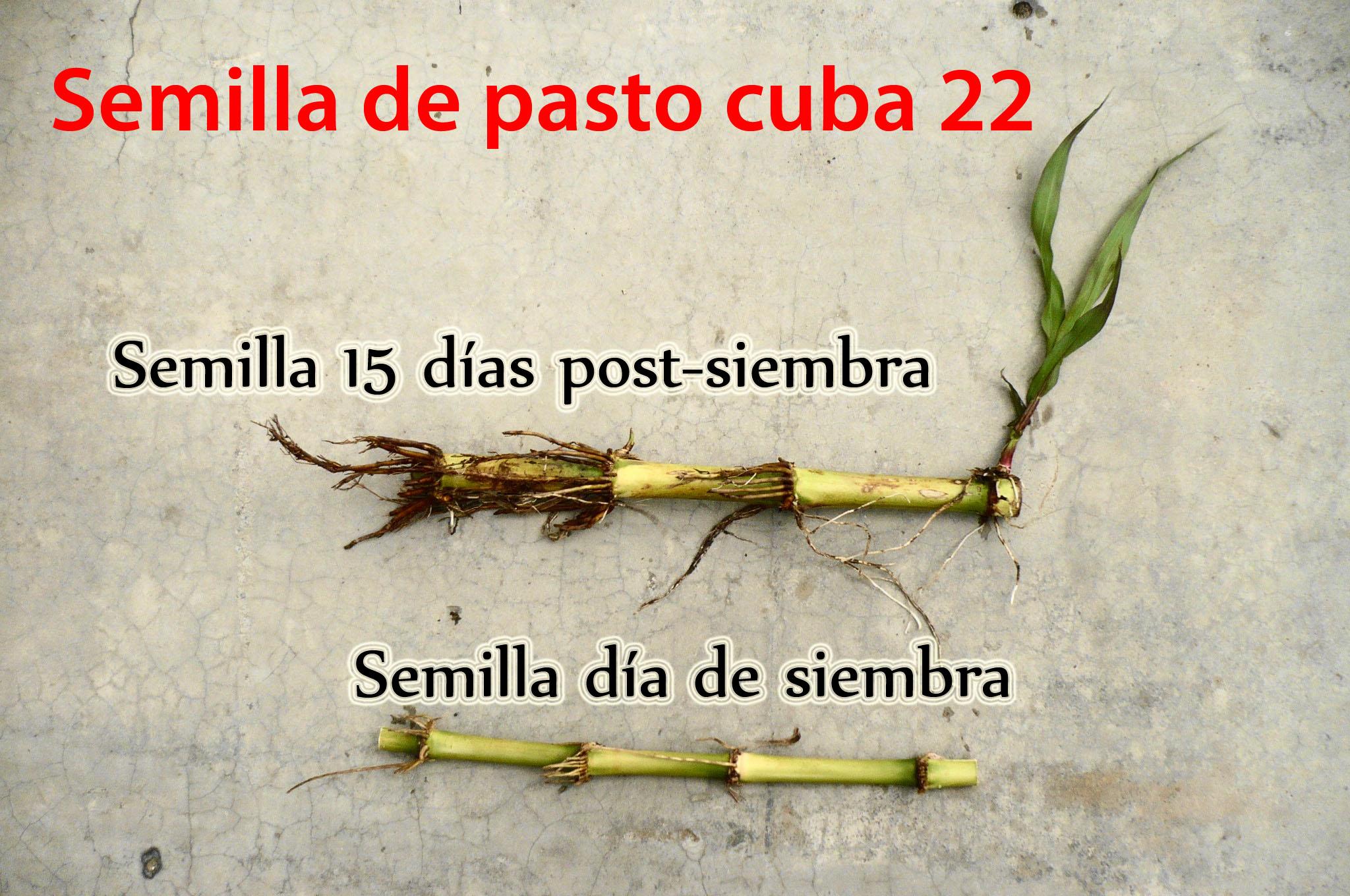 semilla de pasto cuba 22
