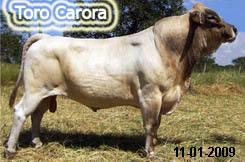 Toro carora